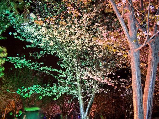 樱花树,顿现五彩滨纷,令人赏心悦目