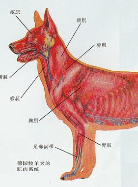 犬的生理解剖图