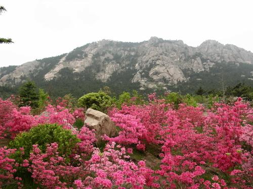 青岛的杜鹃花,美丽,娇柔