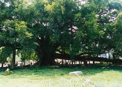 阳朔单车行---大榕树景区