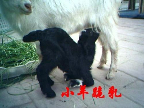 女人体戴乳夹_小羊跪乳