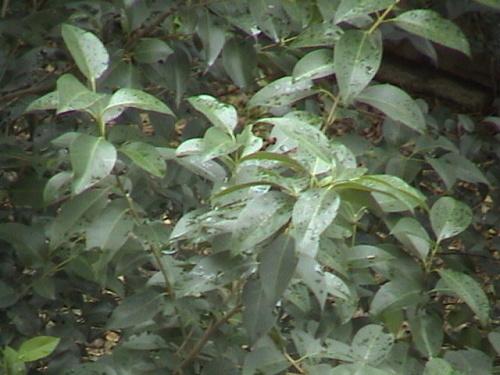 傲雪的桂花树(2006-11-23拍)