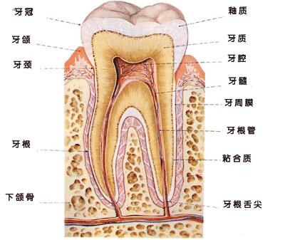 牙齿和牙齿结构图