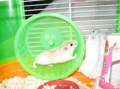 小仓鼠在跑轮鸽子巢箱一般用多大的图片
