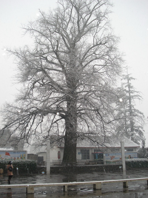 白果傲雪——走马坪