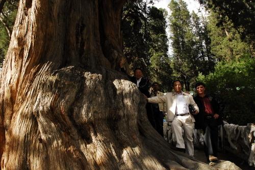 世界寿命最长的树在哪里?