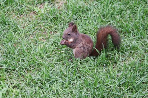尾巴像松鼠身体看起来很胖的动物