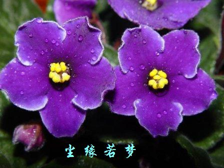 小花紫罗兰纹身图案分享展示