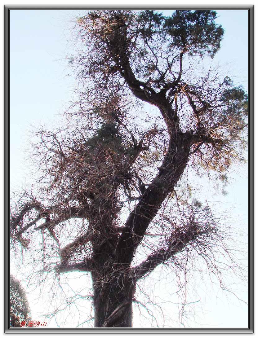 """银杏树还有""""白果树"""",""""公孙树""""等别称,为什么叫""""公孙树""""呢?"""