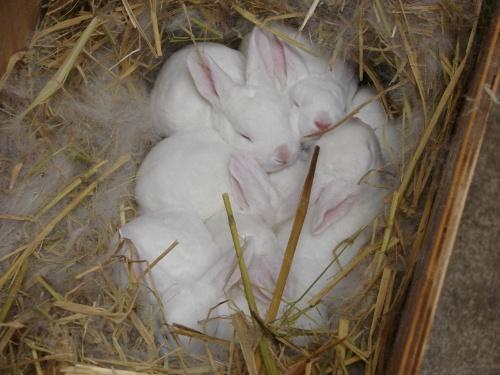 一窝刚出生不久的可爱的小兔子-大汉博客-我的搜狐
