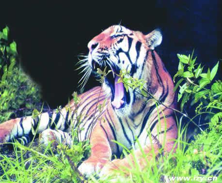 老虎在中国的分布 我国本是一个多虎的国家