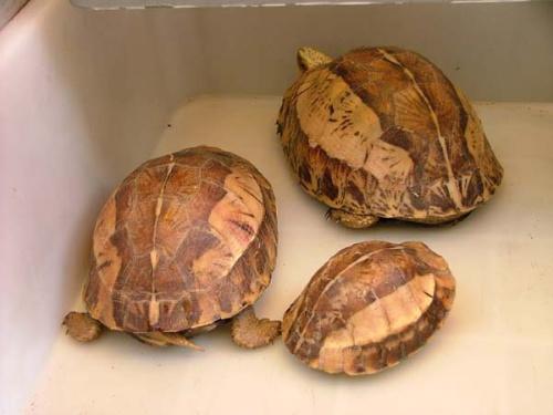 广西,云南,海南,国外于越南 黄额在宠物市场上是很受欢迎的两栖龟类