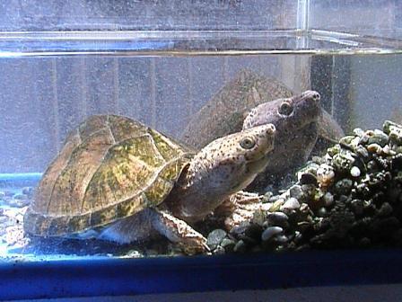 它可以在水很深的栖息地内繁衍生息