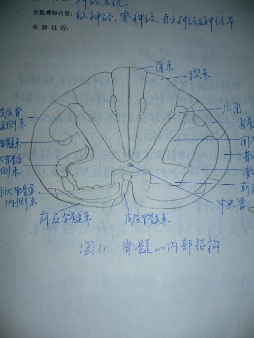 脊髓的内部结构