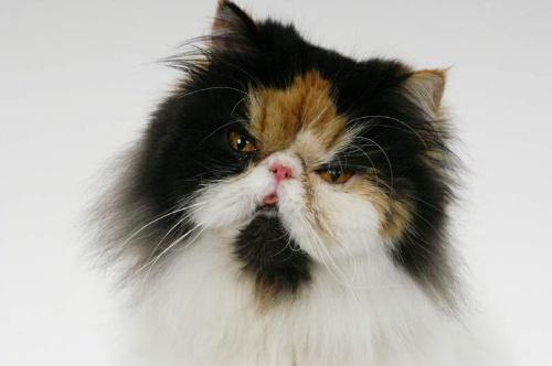 波斯猫毛色非常多丰富,可分为白色,黑色,红色,黄色,暗灰色,蓝色,双色