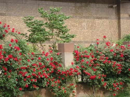 蔷薇蔷薇处处开